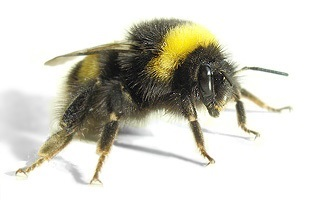 This is a Bumble Bee