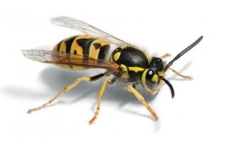 This is a wasp